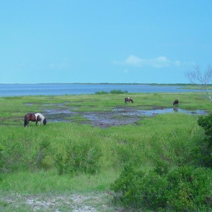 Assateague Ponies on the beach